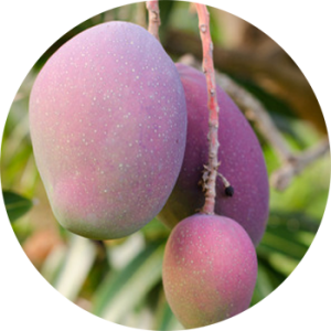 fancy-purple-mango